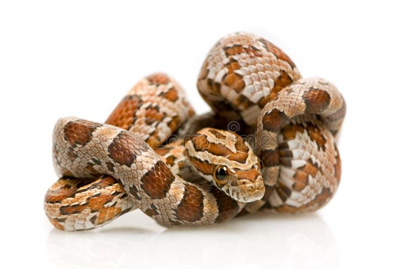 Serpente di cereale immagini stock