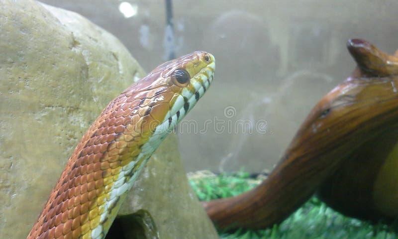 Download Serpente di cereale immagine stock. Immagine di serpente - 55356805