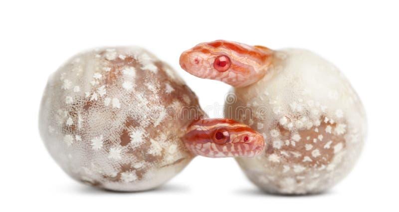 Serpente di cereale che cova, guttatus di Pantherophis immagini stock libere da diritti
