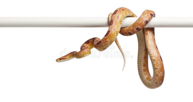 Serpente di cereale dell'albino di Okeetee, Pantherophis fotografia stock