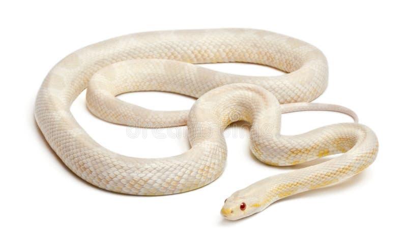 Serpente di cereale della neve o serpente di ratto rosso, Pantherophis immagine stock libera da diritti