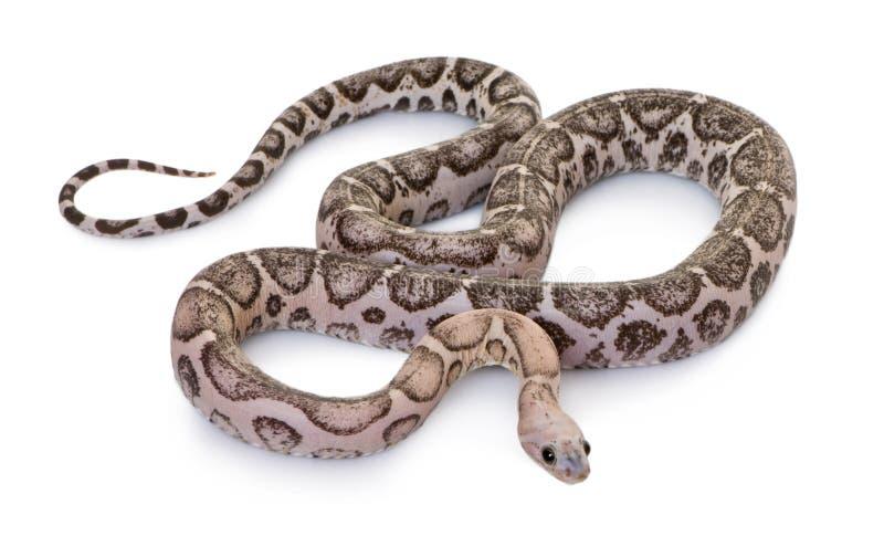 Serpente di cereale Scaleless o serpente di ratto rosso fotografia stock libera da diritti
