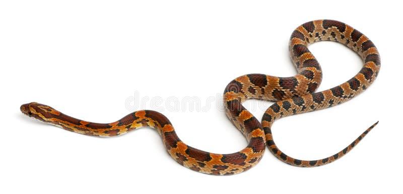 Serpente di cereale Scaleless, Pantherophis Guttatus immagine stock