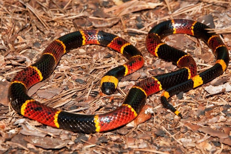 Coral Snake orientale (fulvius del Micrurus) fotografie stock libere da diritti