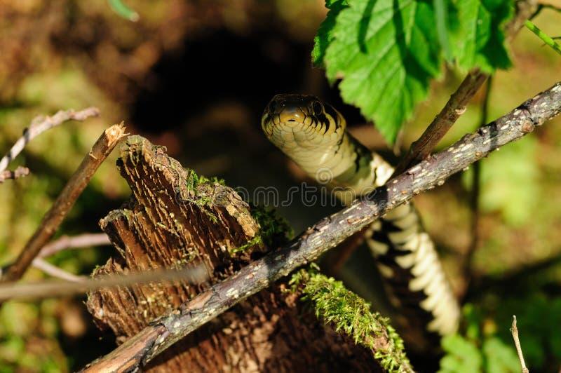 Serpente di erba nascosto immagini stock