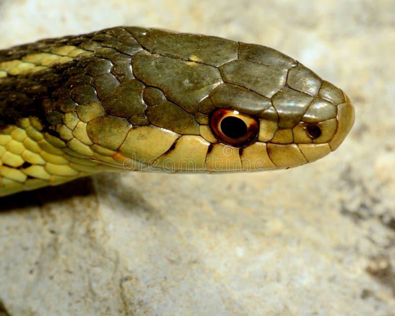 Serpente di giarrettiera fotografie stock