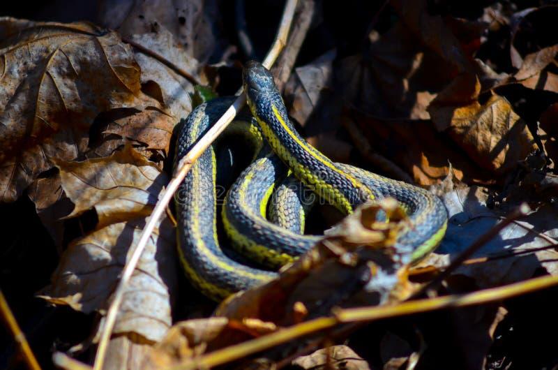 Serpente di giarrettiera immagini stock libere da diritti