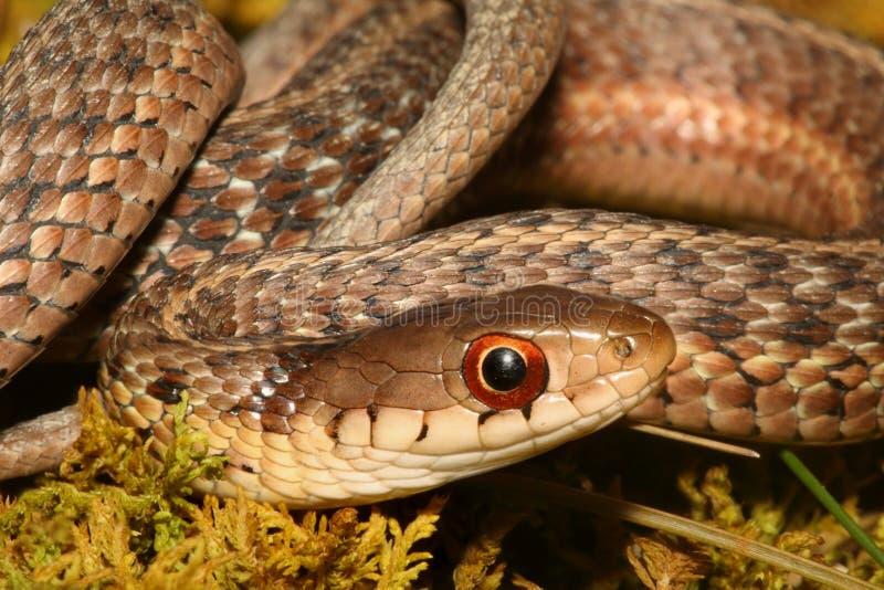 Serpente di giarrettiera del bambino (sirtalis del Thamnophis) immagini stock libere da diritti