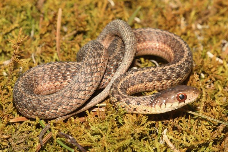 Serpente di giarrettiera del bambino & x28; Sirtalis& x29 del Thamnophis; fotografie stock
