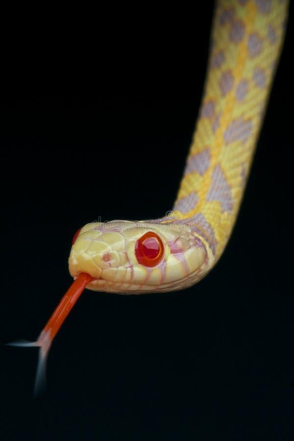 Serpente di giarrettiera dell'albino immagine stock libera da diritti