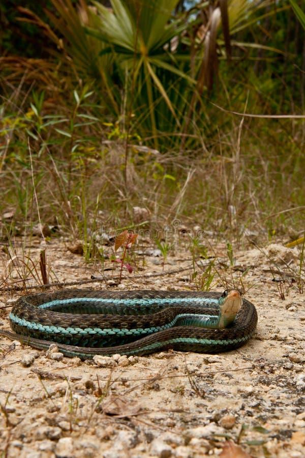 Serpente di giarrettiera di Bluestripe fotografie stock