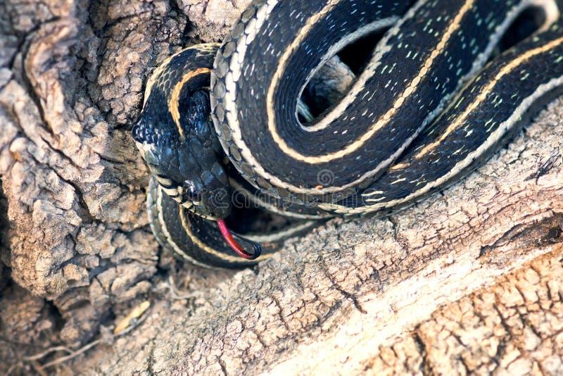Serpente di giarrettiera messicano nordico (eques del Thamnophis) con la lingua ha fotografia stock