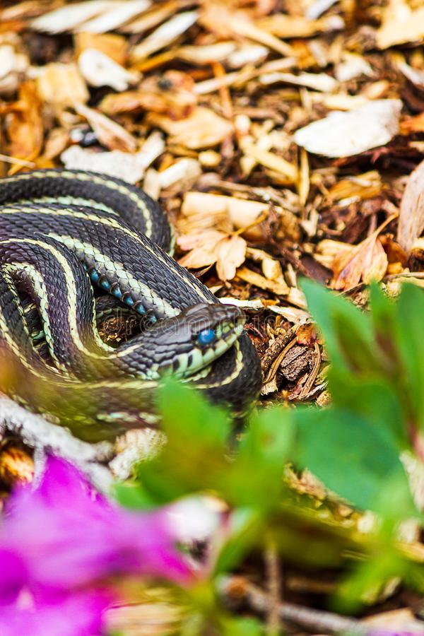 Serpente di giarrettiera osservato latteo di piccola muta sottile fotografia stock