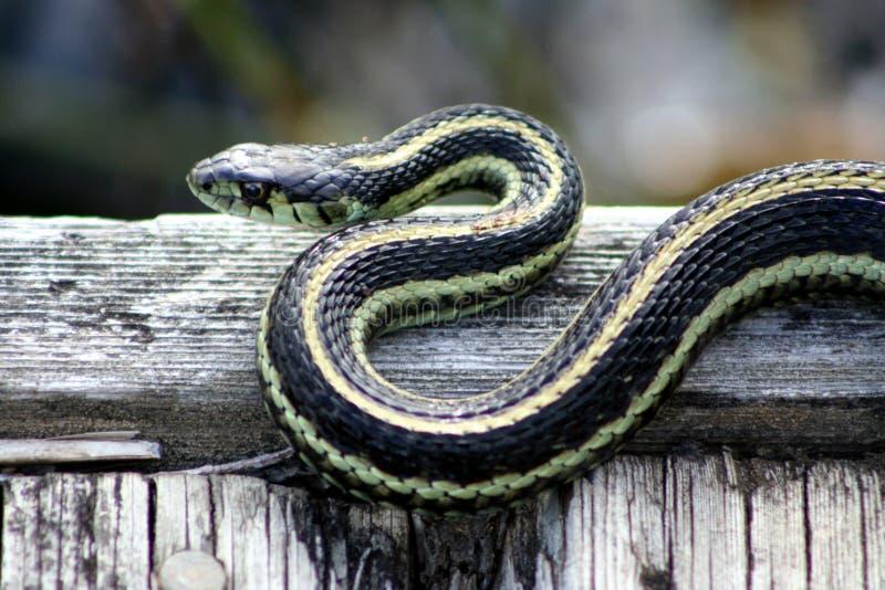 Serpente di giarrettiera prendente il sole immagine stock libera da diritti