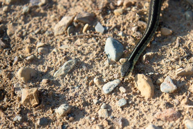 Serpente di giarrettiera selvaggio fotografia stock