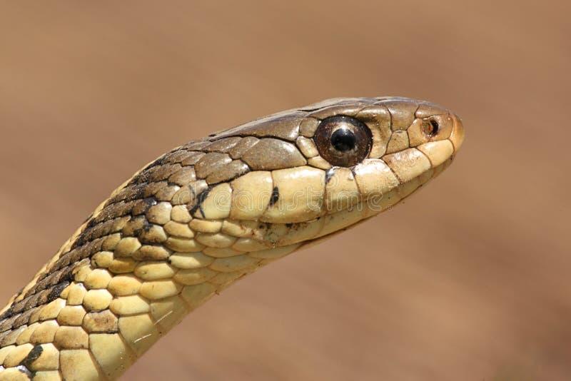 Serpente di giarrettiera (sirtalis del Thamnophis) immagini stock libere da diritti