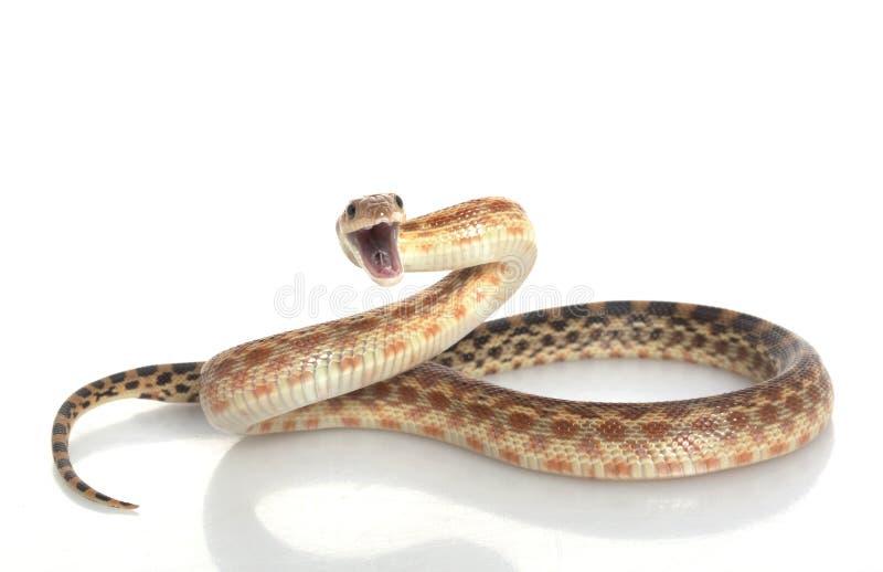 Serpente di Gopher del capo immagine stock libera da diritti