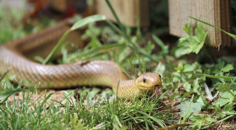 Serpente di ratto Aesculapian con la lingua fuori fotografia stock
