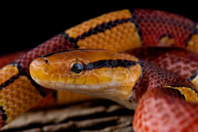 Serpente di ratto di bambù a strisce immagine stock libera da diritti