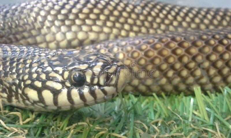 Download Serpente di re fotografia stock. Immagine di serpente - 55356800