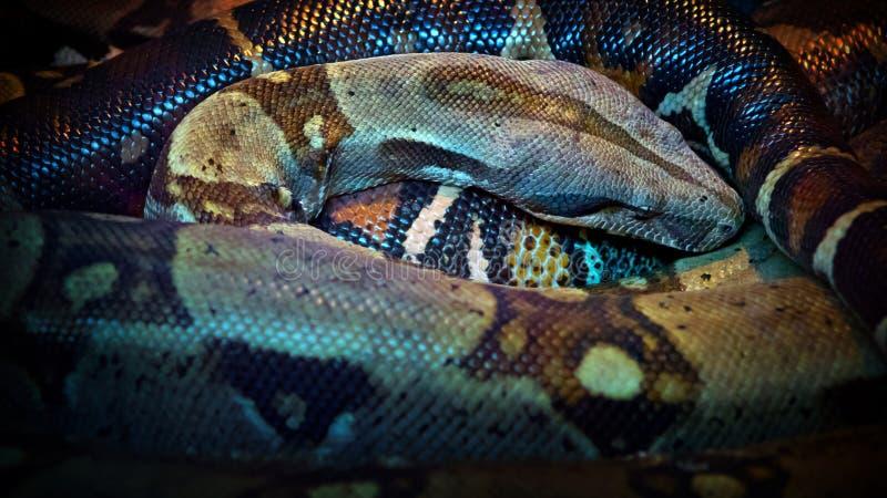 Serpente di riposo fotografie stock libere da diritti