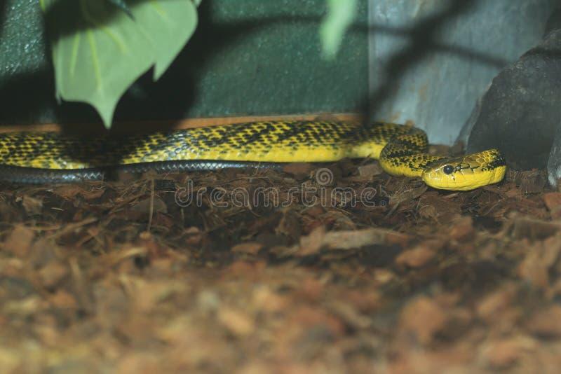 Serpente di soffio di Amazon immagini stock