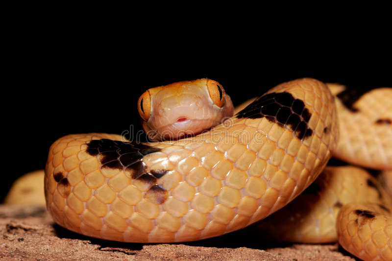 Serpente di tigre fotografia stock libera da diritti