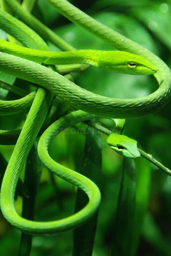 Serpente di vite fotografie stock