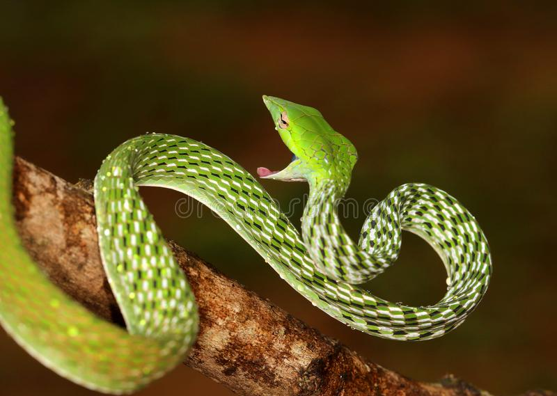 Serpente di vite verde, nasuta Agumbe, il Karnataka, India di Ahaetulla immagine stock libera da diritti