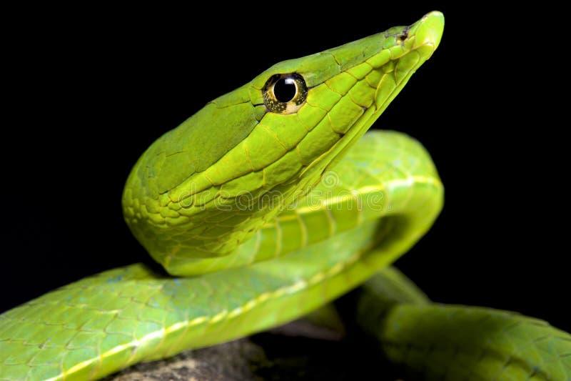 Serpente di vite verde sudamericano, fulgidus del Oxybelis fotografia stock