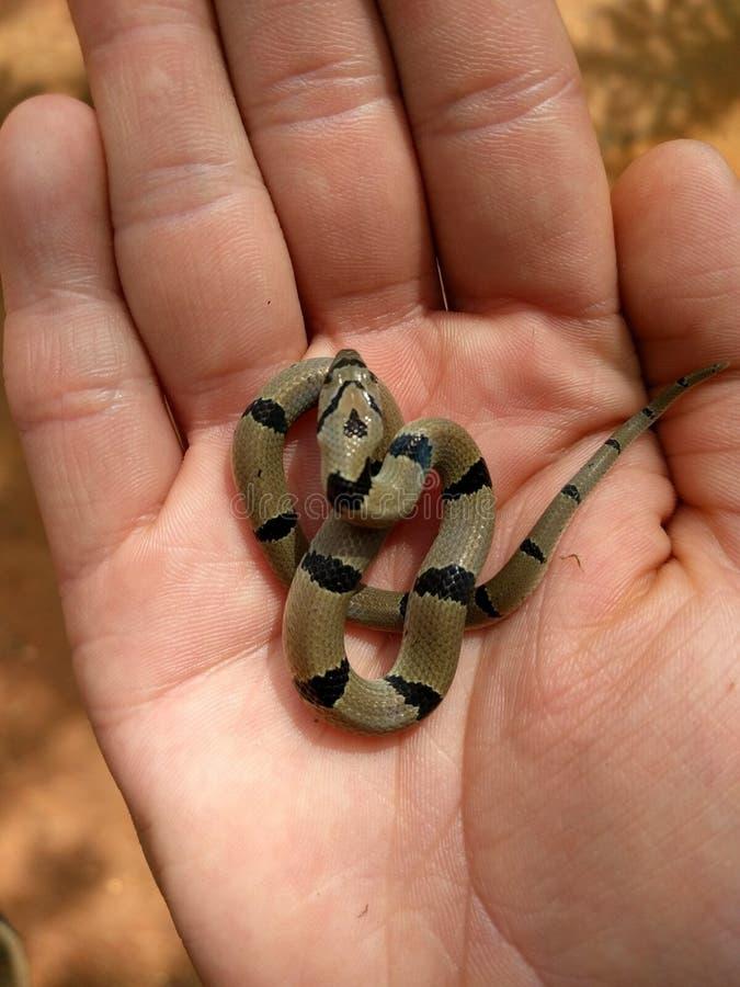 Serpente do bebê imagens de stock royalty free
