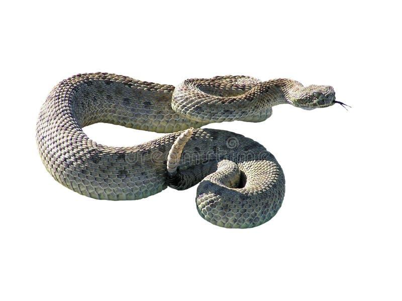 Serpente do chocalho fotografia de stock royalty free