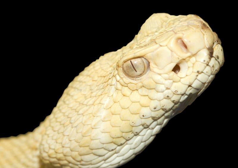 Serpente do chocalho da parte traseira do diamante do albino imagem de stock royalty free