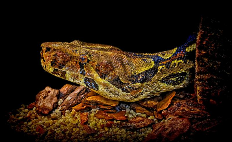 Serpente do Constrictor de boa