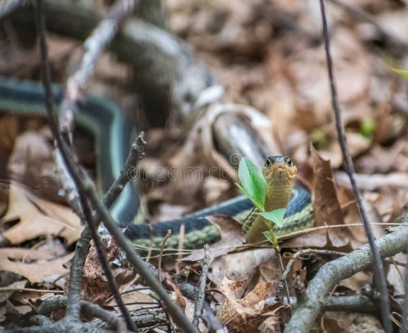 Serpente do jardim nas madeiras em Wisconsin foto de stock