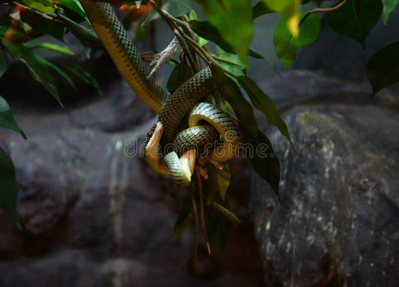 Serpente dorato dell'albero fotografia stock