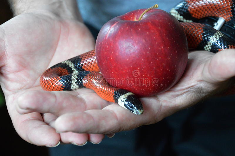 Serpente e fruto proibido imagens de stock