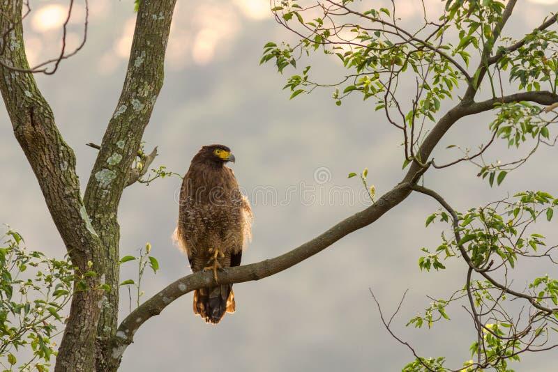 Serpente-Eagle crestato (cheela di Spilornis) che sta in natura in Taiwan fotografia stock libera da diritti