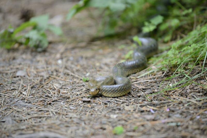 Serpente em seu habitat natural imagens de stock royalty free