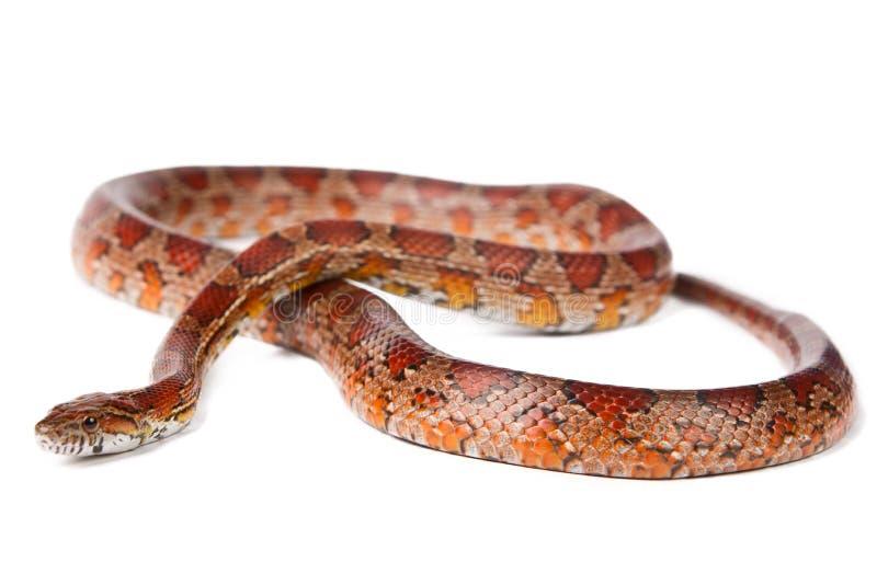 Serpente em um fundo branco. imagem de stock royalty free