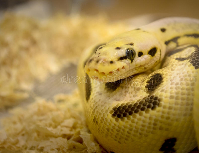 Serpente fantasma fotografie stock libere da diritti