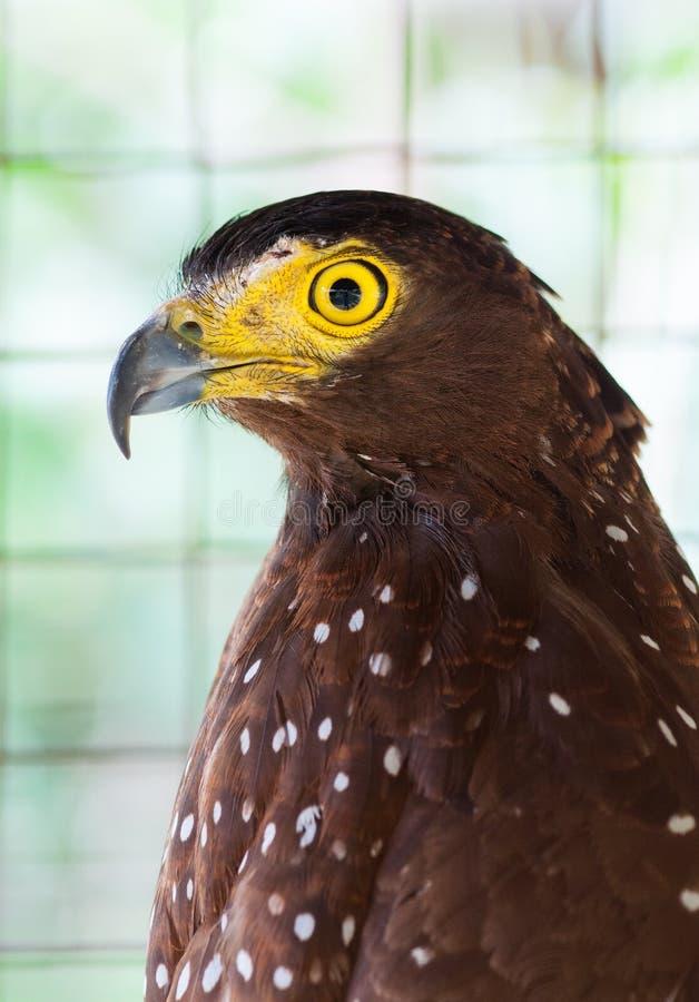 Serpente filippino Eagle fotografie stock libere da diritti