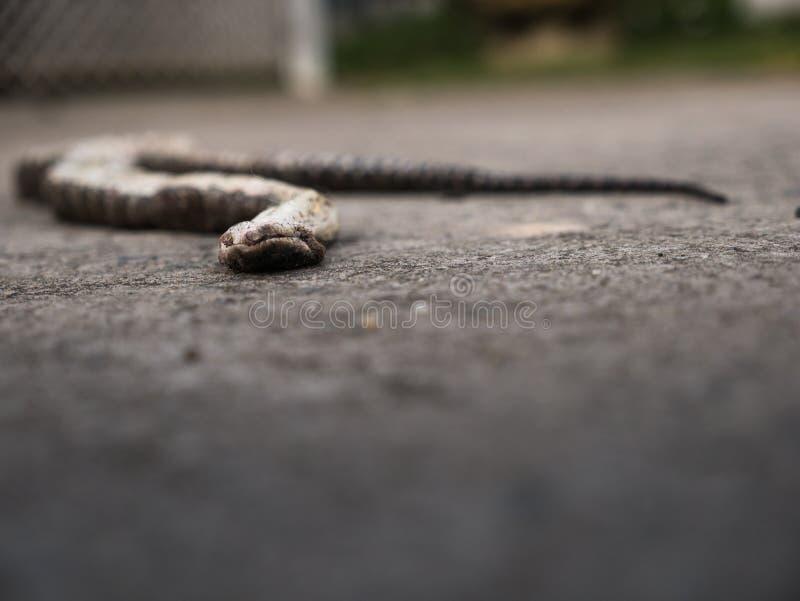 A serpente foi mordida pelo cão morreu na casa imagem de stock royalty free