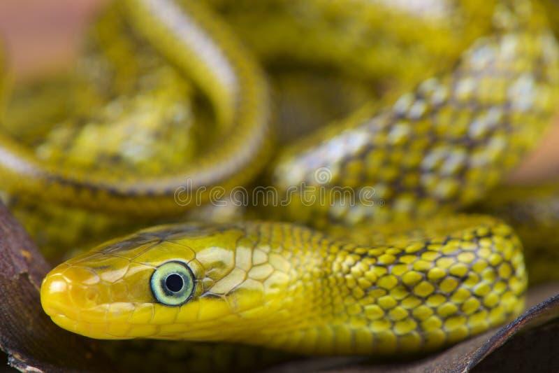 Serpente Himalaia do trinket/hodgsoni de Orthriophis foto de stock