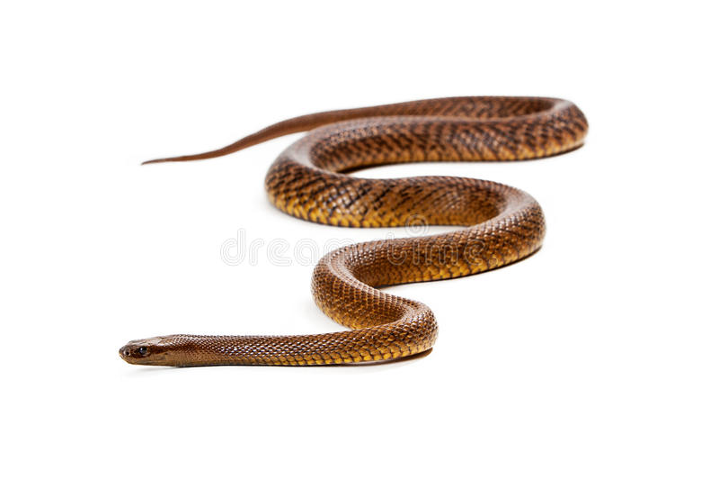 Serpente interno del Taipan isolato su bianco fotografia stock