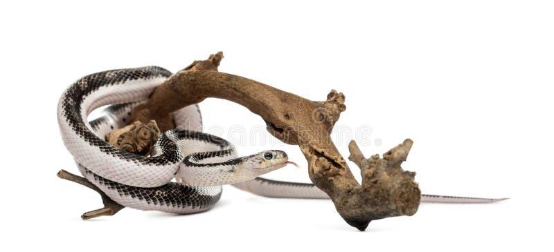 Serpente isolada no branco foto de stock royalty free