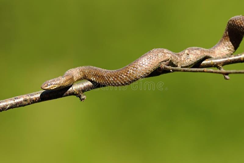 Serpente liscio che scala sul ramo di albero immagine stock