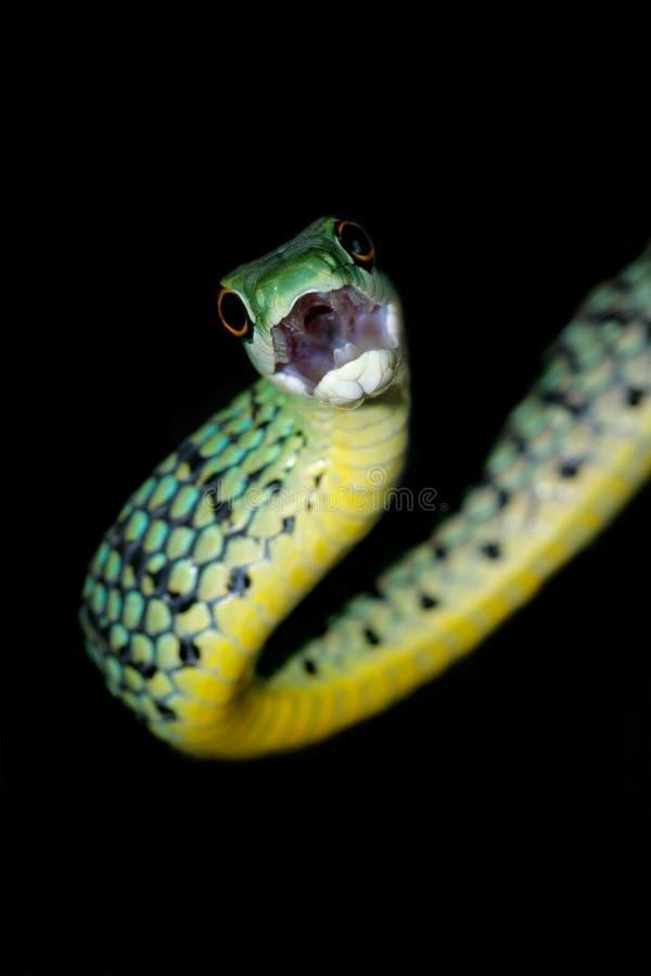 Serpente manchada do arbusto fotografia de stock royalty free