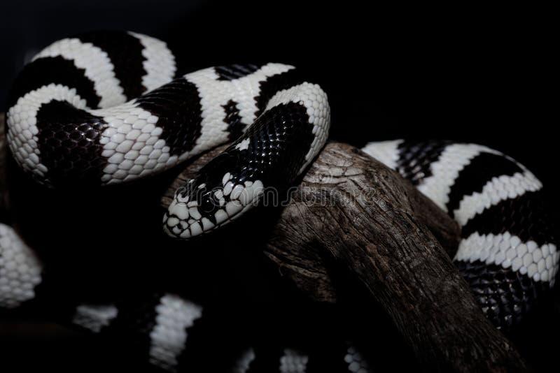A serpente monocromática foto de stock royalty free