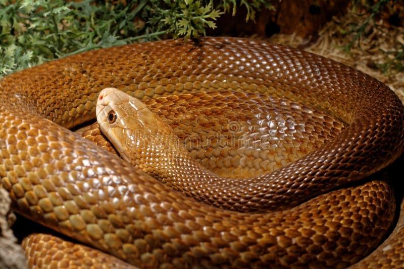 Serpente nel terrario - taipan costiero fotografia stock libera da diritti